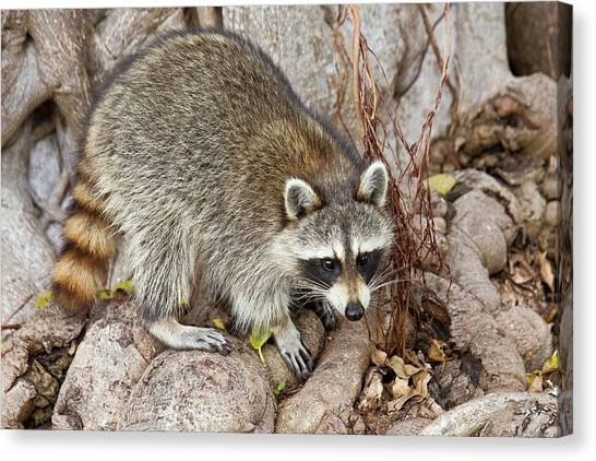 Raccoon Foraging For Food Canvas Print by Bob Gibbons