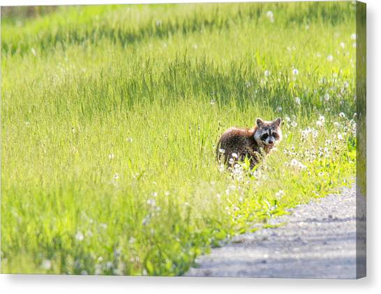 Raccoon In Green Field Canvas Print by Jill Bell