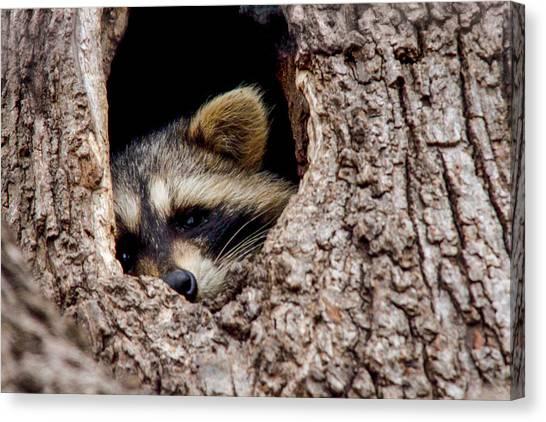Raccoon In Tree Canvas Print by Jill Bell