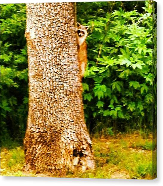 Raccoons Canvas Print - #raccoon #trees #nature #riverlegacy by Laura Ramirez