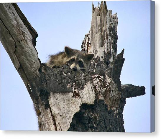 Raccoon Waiting. Lake Marion Creek W.m.a. Canvas Print