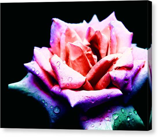 Rachel's Rose Canvas Print
