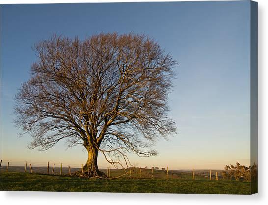 Raddon Hill Top Tree Canvas Print