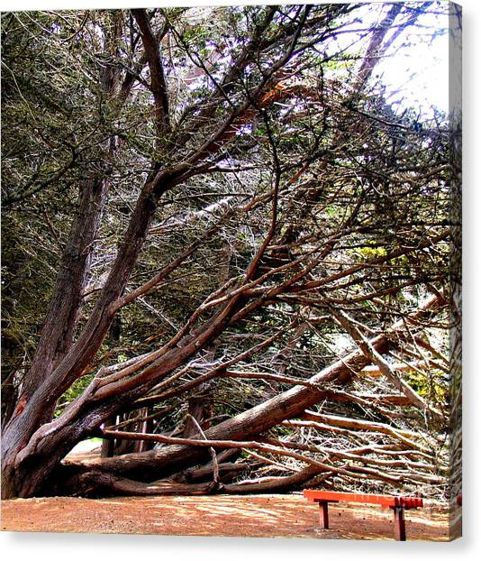 Ragged Point Tree Canvas Print by Stephanie Moses