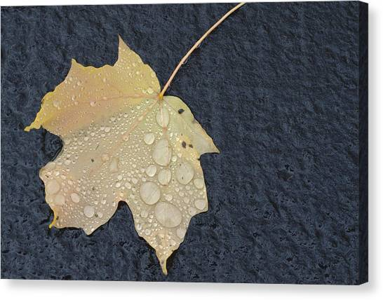 Rain Drops On A Yellow Maple Leaf Canvas Print