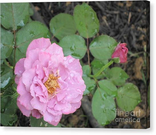 Rain Kissed Rose Canvas Print