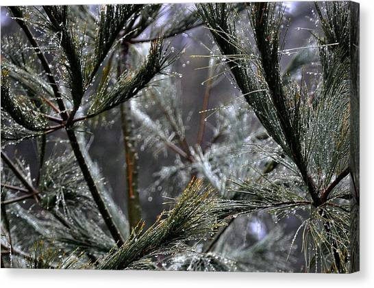 Rain On Pine Needles Canvas Print