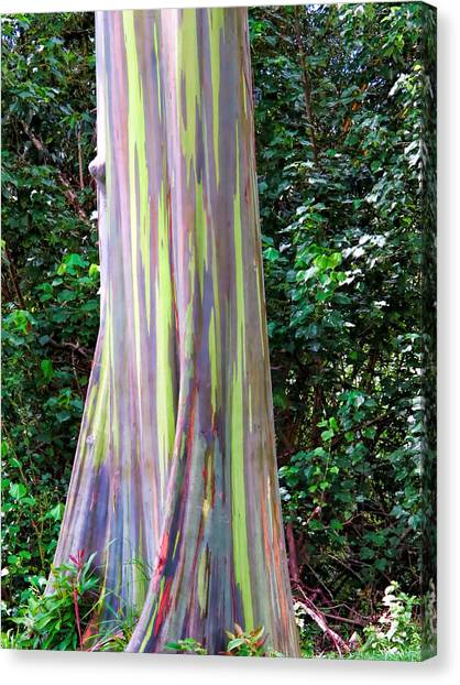 Rainbow Eucalyptus 3 Canvas Print