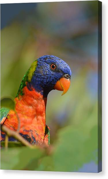 Rainbow Lorikeet Parrot  Canvas Print