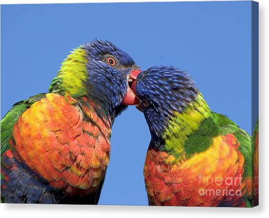 Rainbow Lorikeets Canvas Print