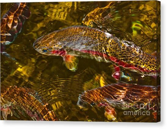 Rainbow Trout Canvas Print by Cari Gesch