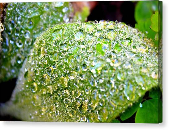 Canvas Print featuring the photograph Lambs Ear Raindrops by Candice Trimble