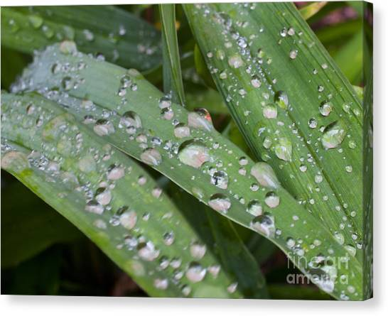Raindrops On Daylily Leaves Canvas Print by Jonathan Welch