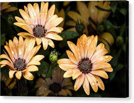 Raindrops On Gerbera Daisies Canvas Print