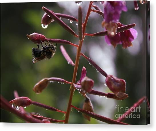 Rained Soaked Brandywine Bee Canvas Print by Amanda Holmes Tzafrir