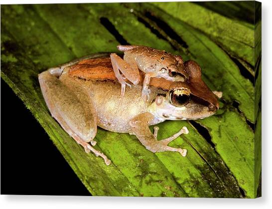 Amazon Rainforest Canvas Print - Rainforest Frogs Mating by Dr Morley Read/science Photo Library