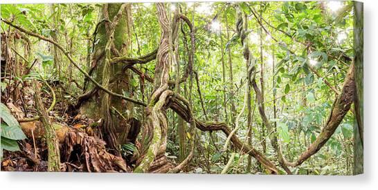 Ecuadorian Canvas Print - Rainforest Lianas by Dr Morley Read