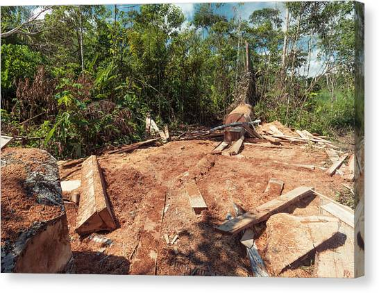Deforestation Canvas Print - Rainforest Tree Cut For Planks by Dr Morley Read