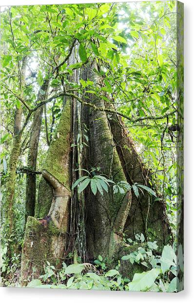 Ecuadorian Canvas Print - Rainforest Tree With Roots by Dr Morley Read