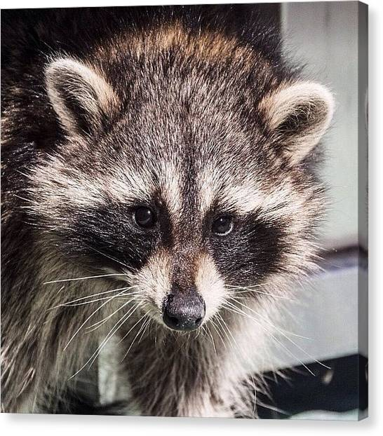Raccoons Canvas Print - Ran Into This Little #raccoon On Our by Kieffer Meridew