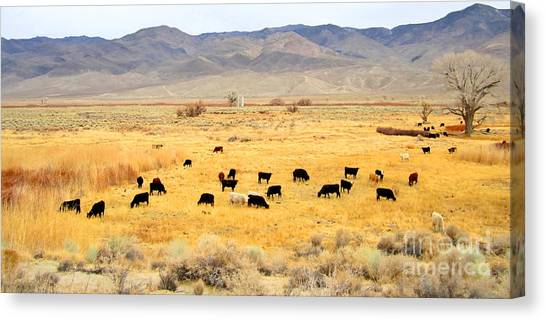 Range Cattle Canvas Print