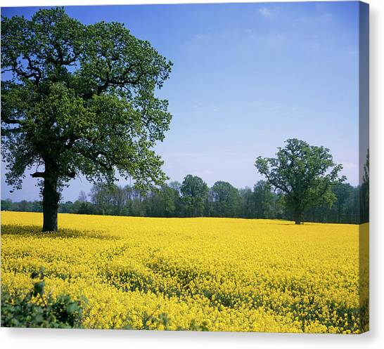 Andy Bloom Canvas Print - Rape Field by Andy Williams/science Photo Library