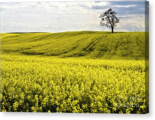 Rape Landscape With Lonely Tree Canvas Print