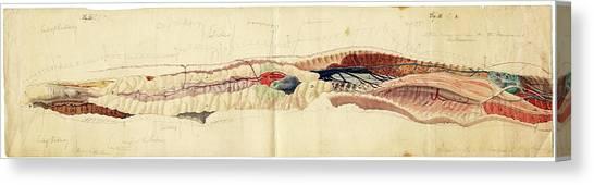 Rattlesnakes Canvas Print - Rattlesnake Anatomy by American Philosophical Society