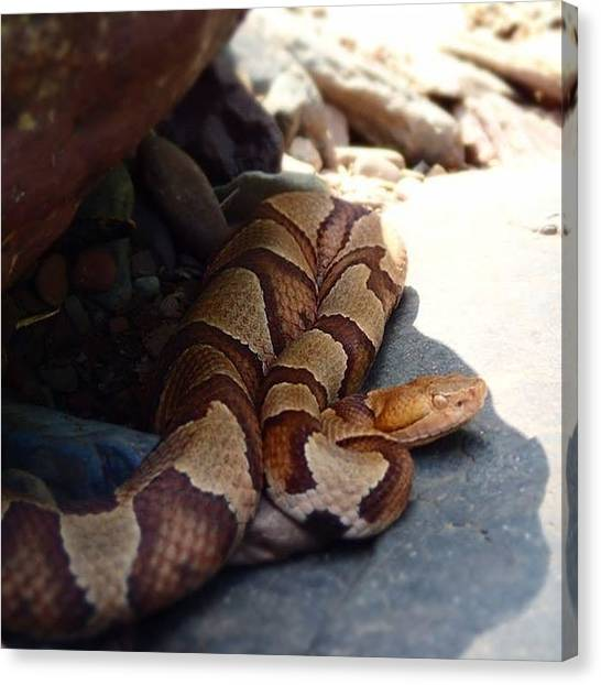 Rattlesnakes Canvas Print - #rattlesnake I Saw On A #hike by Meg Pace