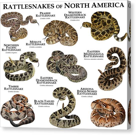 Timber Rattlesnakes Canvas Print - Rattlesnakes Of North America by Roger Hall