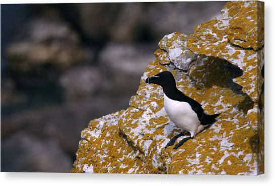 Razorbills Canvas Print - Razorbill Bird by Dreamland Media