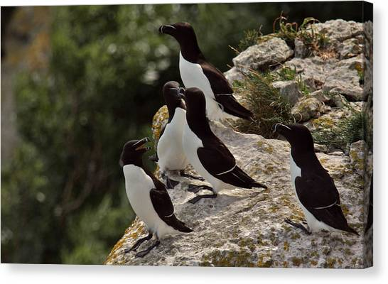 Razorbills Canvas Print - Razorbill Cliff by Dreamland Media
