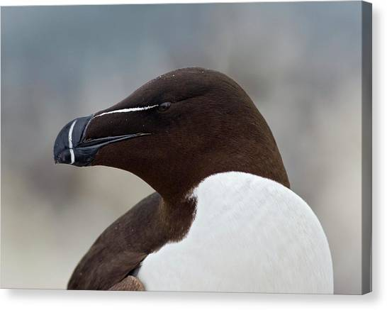 Razorbills Canvas Print - Razorbill Head by John Devries/science Photo Library