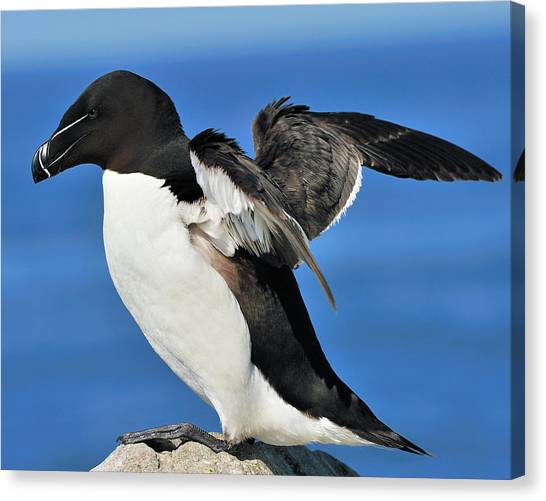 Razorbills Canvas Print - Razorbill by Tony Beck