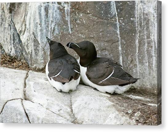 Razorbills Canvas Print - Razorbills Resting by John Devries/science Photo Library
