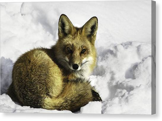 Ready Red Fox Canvas Print
