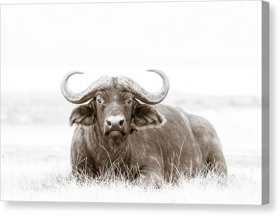 Kenyan Canvas Print - Reclining Buffalo With Oxpecker by Mike Gaudaur