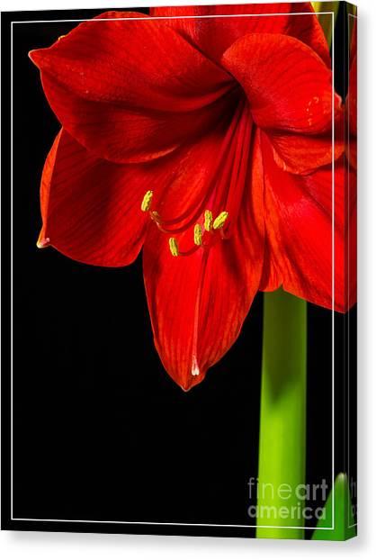 Amaryllis Canvas Print - Red Amaryllis Flower by Edward Fielding