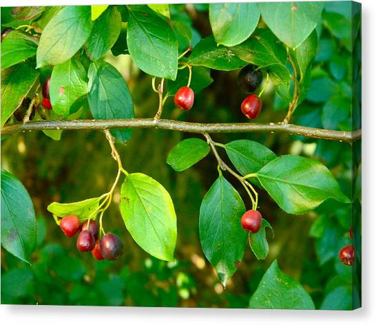 Red And Black Berries Canvas Print