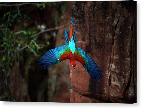 Macaw Canvas Print - Red-and-green Macaw Flying by Berndt Fischer
