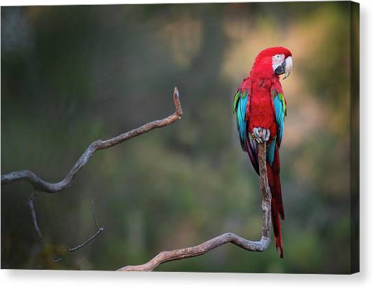 Red-and-green Macaw Sitting On Branch Canvas Print by Sean Caffrey