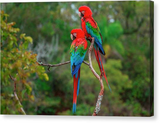 Red-and-green Macaws, Ara Chloroptera Canvas Print by Mint Images/ Art Wolfe