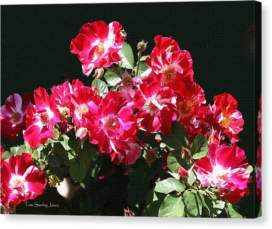 Mcc Canvas Print - Red And Whit Roses by Tom Janca