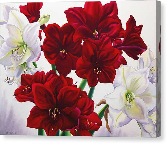 Amaryllis Canvas Print - Red And White Amaryllis by Christopher Ryland