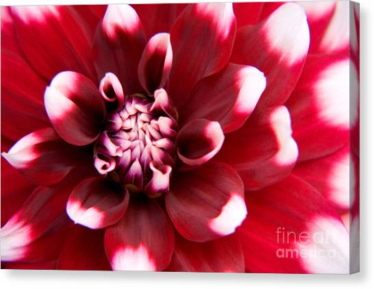 Red And White Fubuki Dahlia Canvas Print by Julia Hiebaum