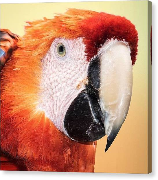Macaws Canvas Print - Red And Yellow #animalsbydl by David Lopez