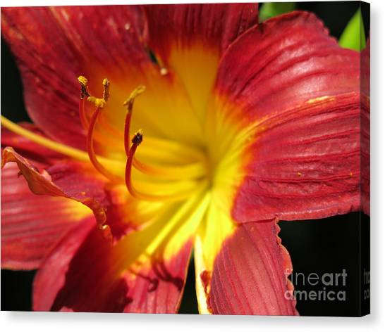 Red And Yellow Day Lily Canvas Print
