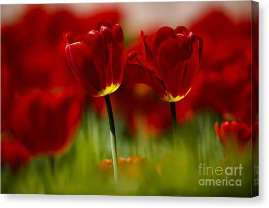 Tulip Canvas Print - Red And Yellow Tulips by Nailia Schwarz