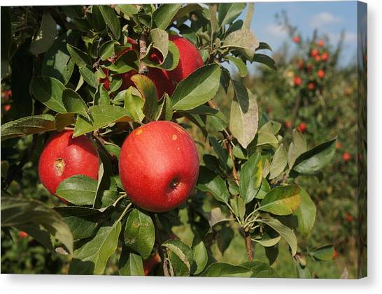 Red Apple Growing On Tree Canvas Print