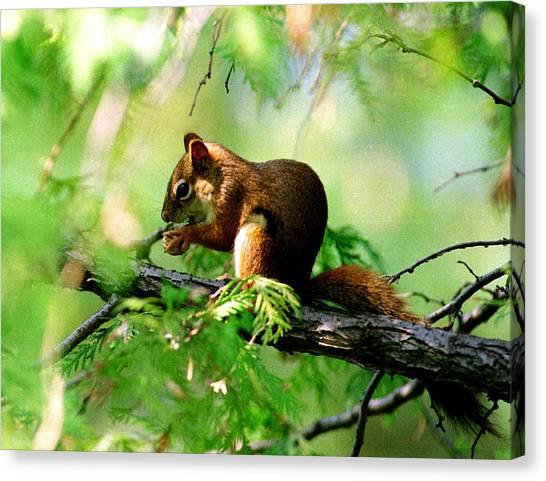 Red Aquirrel Canvas Print